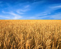Wheat field and blue sky as background Royalty Free Stock Photo