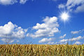 Wheat field with blue sky in background Royalty Free Stock Images