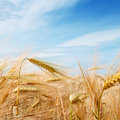 Wheat field and blue sky with clouds Stock Image