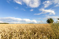 Wheat field with blue sky with sun and clouds Royalty Free Stock Photo