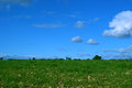 Wheat field and blue sky with white clouds and trees background Royalty Free Stock Photo