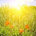Wheat field and a bright sunrise on a blue sky Royalty Free Stock Photo