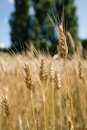 Wheat in field close up Stock Photos