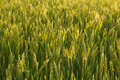 Wheat field close up of green cereal in the morning Royalty Free Stock Image