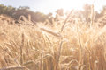 Wheat field closeup in late afternoon summer sun Royalty Free Stock Photo