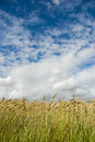 Wheat field with clouds above ripe white and blue skies overhead Royalty Free Stock Photo