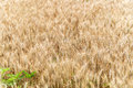 Wheat Field Crop Background