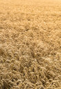 Wheat field crop background image made from a yellow in a small farming town under a golden sunrise sunset glow agricultural Royalty Free Stock Photos