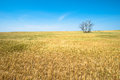 Wheat Field, Crops, Farming, Agriculture Royalty Free Stock Photo
