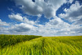 Wheat field with cumulus clouds Royalty Free Stock Photography