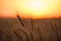 Wheat field ears of against the setting sun Royalty Free Stock Photo
