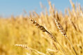 Wheat field. Ears of golden wheat close up Royalty Free Stock Photo