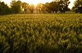 Wheat field in the evening golden sunlight Royalty Free Stock Photography