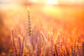 Wheat field in the evening rays of setting sun illuminates of Royalty Free Stock Images