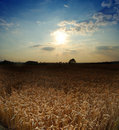 Wheat field with evening sky Royalty Free Stock Photo
