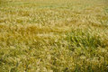 Wheat field fields of grain barley flour harvest Royalty Free Stock Images