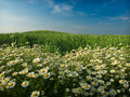 Wheat field and flowers Royalty Free Stock Photo