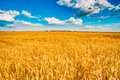 Wheat field, fresh crop of wheat Royalty Free Stock Photo
