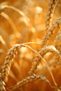 Wheat field golden ears of on the Stock Photos