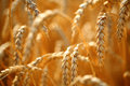 Wheat field golden ears of on the Stock Photography