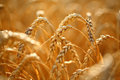 Wheat field golden ears of on the Royalty Free Stock Photo