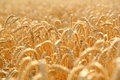 Wheat field golden ears of on the Royalty Free Stock Photos