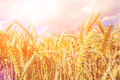 Wheat Field In The Golden Even...