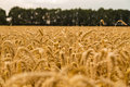 Wheat field before harvest Royalty Free Stock Photo