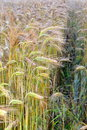 Wheat field image of green young turning into yellow mature still growing with side lane Royalty Free Stock Photos