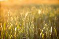 Wheat field in late afternoon rays of the setting sun over Royalty Free Stock Photos