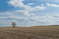 Wheat field with one bare tree Royalty Free Stock Photo