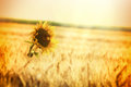 Wheat field and one sunflower rays of the setting sun over Royalty Free Stock Image