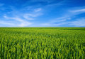Wheat field over blue sky green Royalty Free Stock Images
