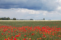 Wheat field and poppies. Royalty Free Stock Photo