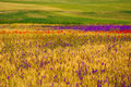 Wheat field with poppies and purple flowers green background Royalty Free Stock Photo