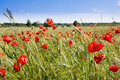 Wheat field and poppies in summer Stock Photo