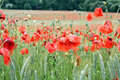 Wheat field with poppy after rain Stock Images