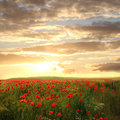 Wheat field with red poppies and chamomile - dreamy sunset scene Royalty Free Stock Photo