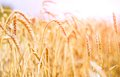 Wheat field ripening ears of on the background of the setting sun Royalty Free Stock Photo