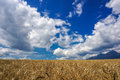 Wheat field and sky golden with blue in background Royalty Free Stock Image