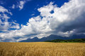 Wheat field and sky golden with blue in background Stock Image