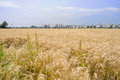 Wheat field before small village in sunny summer afternoon Royalty Free Stock Photo