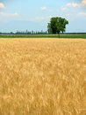 Wheat field in spring and lone Stock Photo
