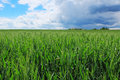 Wheat field with stormy sky Royalty Free Stock Photo