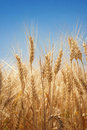 Wheat field in summer close up Stock Photography