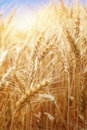 Wheat field in summer close up Royalty Free Stock Image