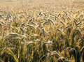 Wheat field on a summer day morning Stock Image