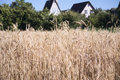 Wheat field in summer in the village Royalty Free Stock Photo