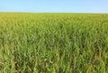 Wheat field. Summertime.