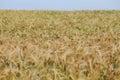 Wheat Field In The Sun
